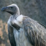 Vulture Deaths slowing down Post Killer Drug Ban in India