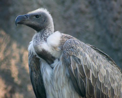 Six Reasons Why Vultures may be dying in India