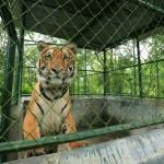 Orphaned Tiger Ready to Begin New Life at Bhopal's Van Vihar