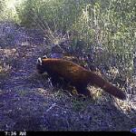 WWF India Captures Rare Photo of Red Panda
