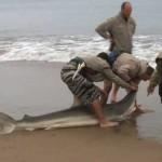 Sharks Facing Grave Danger due to Indiscriminate Fishing