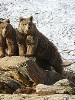 Brown Bear Mother and Cub Caught on Camera in Kargil