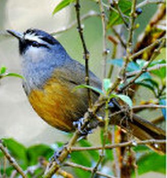 indian birds information with picture pdf