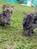 clouded-leopard-cubs-panjit-basumatary
