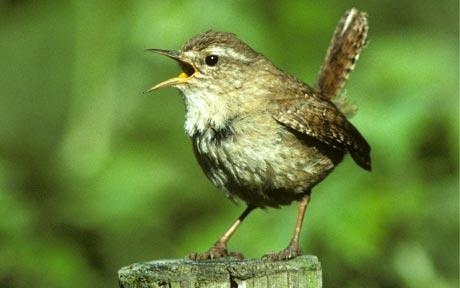 bird son