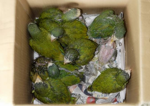 Indian Green Parrot Baby Pet Parrot Trade Killi...