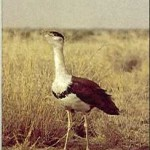 Photography of Great Indian Bustard Banned