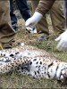 leopards found dead