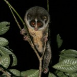 Slender Loris on the hit list of Poachers
