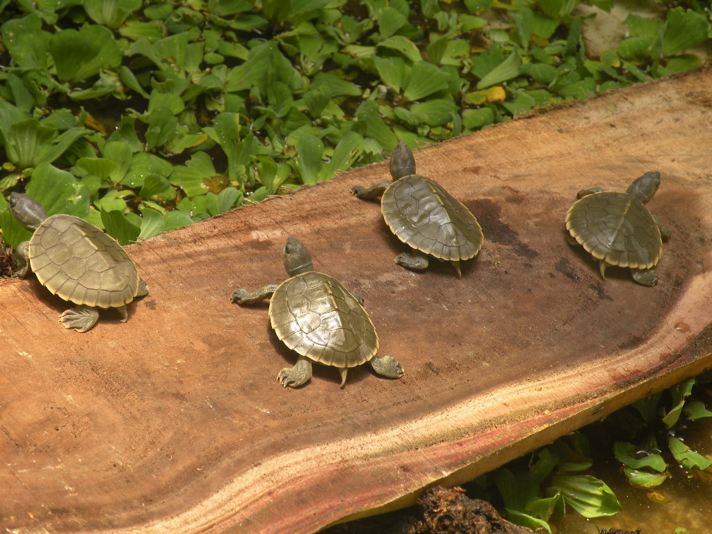 ... Successfully Breeds Rare Turtle Species - Indias Endangered