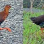 New Bird discovered in Andaman & Nicobar Islands