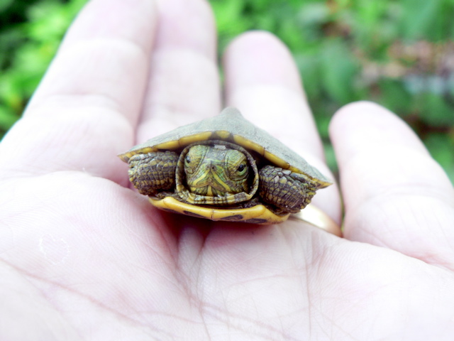 Abandoned Turtles Saved at Foster Homes - Indias Endangered