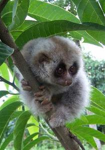 Quick Action saves Slow Loris from becoming Food – India's ...
