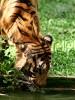 tiger by phallin