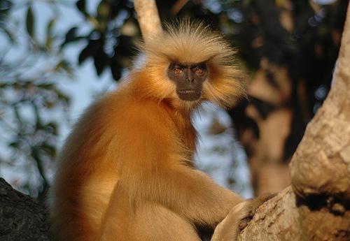 Monkeys of India – I...