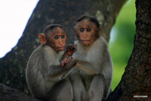 Monkeys of India