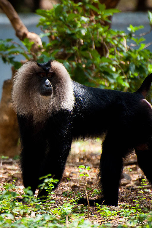 Lion_Tailed_Macaque_in_Zoo