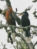 Rufous necked Hornbill, one of the birds in peril