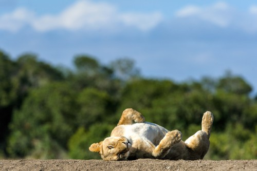 A lioness proves that she is a cat, after all! Ol Pejeta Conservancy, Kenya. Image (c) Jayanand Govindaraj
