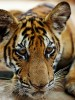 Poor Genes a Threat to Future of Tigers