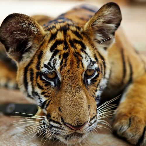 captured tiger cub