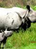 Ganga with her newborn rhino calf Dharati (meaning Mother Earth)