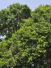 Indian Tree species out of Critically Endangered list