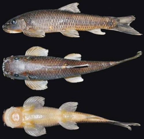 New fish species discovered in arunachal pradesh india 39 s for New fish discovered