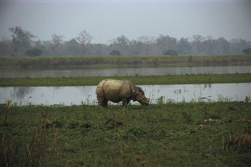 Endangered Indian Rhino is Assam