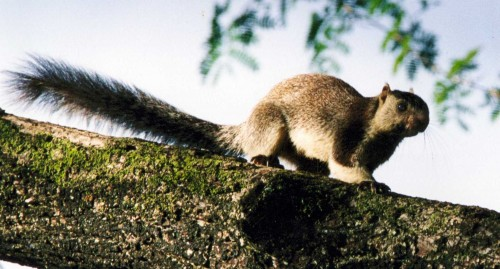 Grizzled Giant Squirrel, only 300 remain in India
