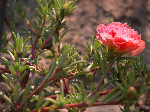 Nine o'clock plant, also known as Moss Rose or Portulaca grandiflora