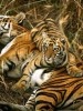 Tiger Population Slowly but Steadily On the Rise in Sunderbans