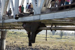 Accidents and Electrocution Kill 28 Elephants, 3 Tigers and 1 Rhino in 2013