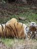 tiger 3 machli