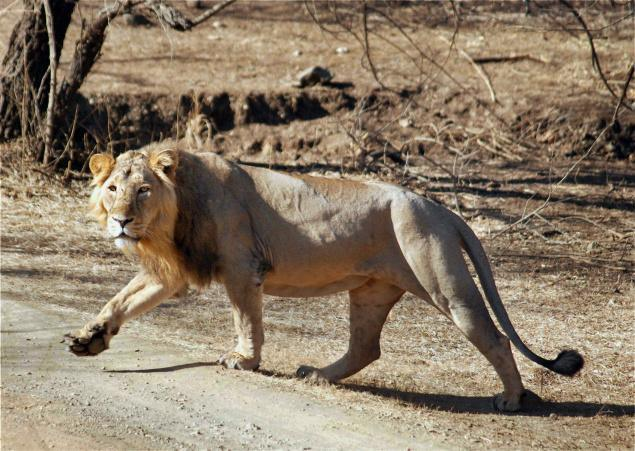 Two Lions Killed by Train in Gujarat - India's Endangered