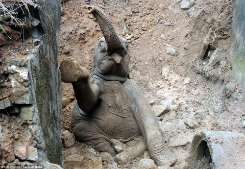 Baby elephant fell into a ditch while trying to cross a railway track in Assam, India