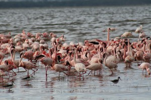 Increase in Flamingo Population in Sambhar Lake,Rajasthan