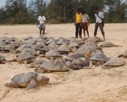 Olive Ridley Turtles found dead in coastal city of Andhra Pradesh, India. Image courtesy The Hindu