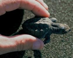 baby turtle