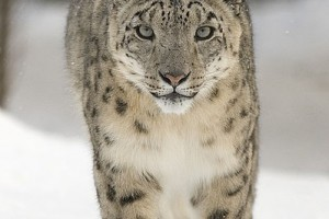 GPS Tracking to help Study Snow Leopards in India