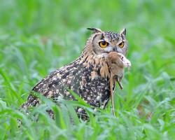 Indian Eagle Owl, Rajasthan.