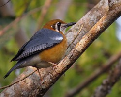Orange Headed Thrush. Image (c) Ramit Singal