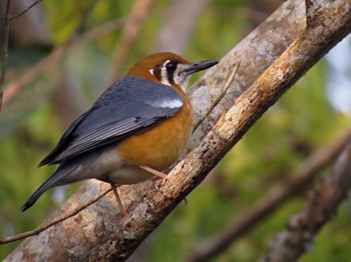 Orange Headed Thrush. Image (c) Ramit Singal