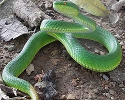 Redtailed Pit Viper