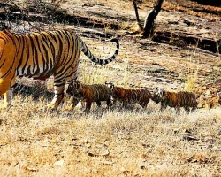 T-19 with four cubs