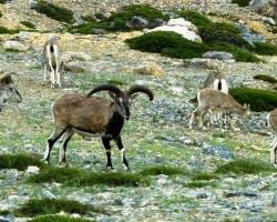 Bharal or Blue Sheep grazing in the foothills of Himalayas