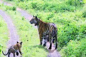 Hand Reared Tigress Gives Birth for the