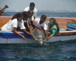 Volunteers of an NGO release an Olive Ridley Turtle back to the sea after it beached on the shores having lost its flipper to a trawl boat