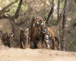 indian tigers.bigcats.in