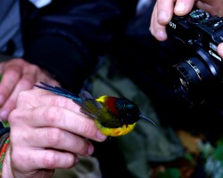 Researchers photographing one of the song birds.